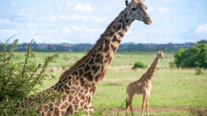 Passer des vacances hors du commun avec un safari au Kenya